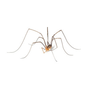 Daddy long leg spiders in Florida