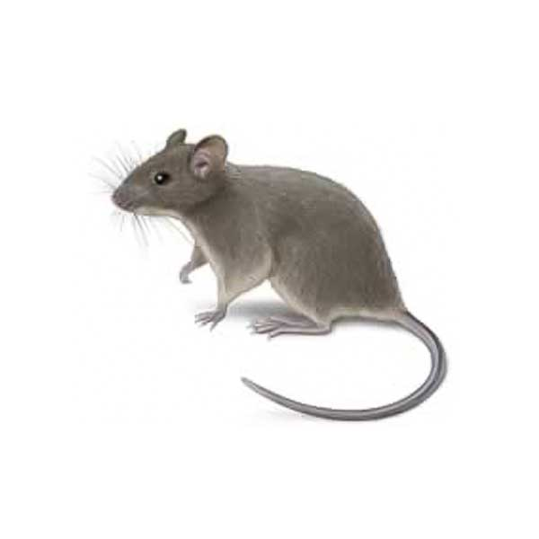 House mice in Florida